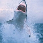 Largest great white sharks ever recorded