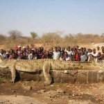 World's Largest Crocodile? (7+ meters/23+ feet)