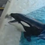 Killer Whale uses a bait fish to hunt a bird (video)