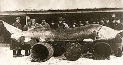 Largest fish species No. 5: a Beluga (Sturgeon) caught in 1922