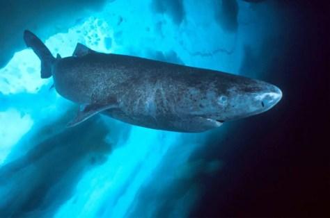 Largest fish species No. 4: Greenland Shark