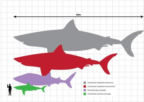 Megalodon scale