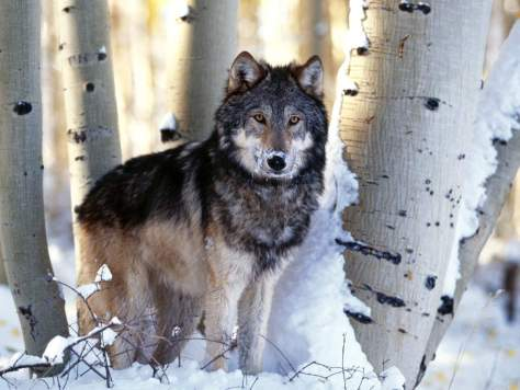 Most powerful bite forces in carnivore land mammals - Gray Wolf