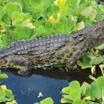 Nile Crocodiles Have Been Found in Florida