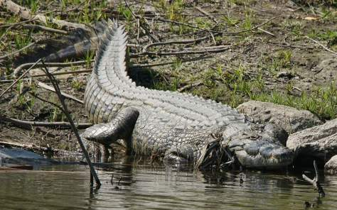 An adult Nile crocodile from Zambia