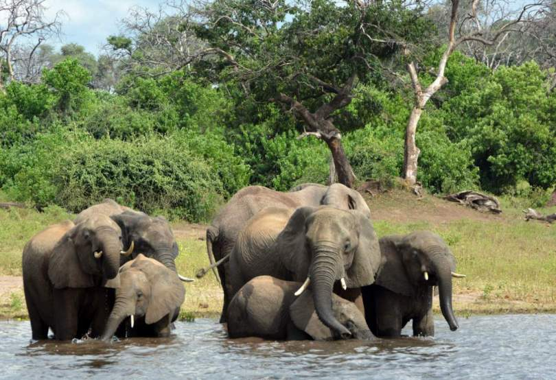 Elephants in Okavango Delta, Botswana