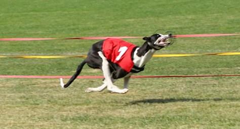 Fastest land animals - Greyhound running in a race