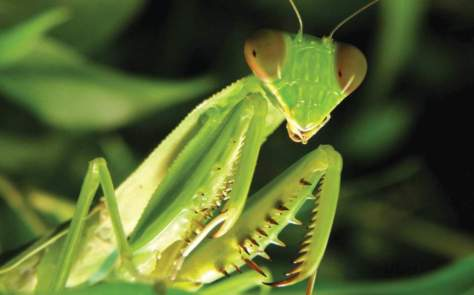 Largest Insects on Earth No. 2 - Praying mantis