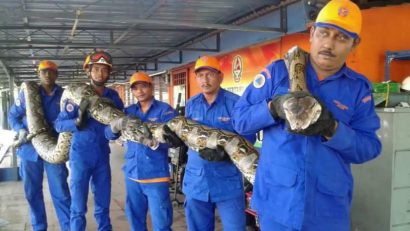Python captured in Malaysia