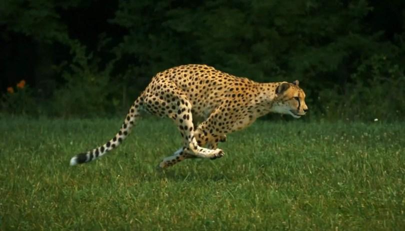 Sarah the cheetah, running