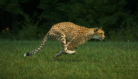 The fastest land animal in the world - Sarah the cheetah, running