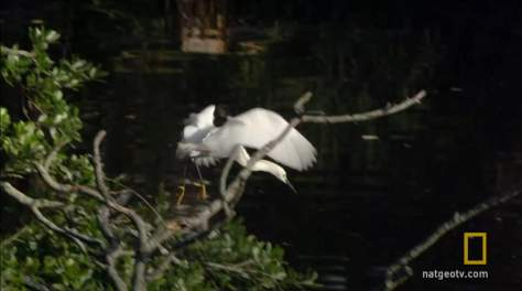 Gator Uses Bait Stick to Catch Egrets - 3