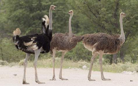 The largest bird in the world - Ostrich