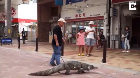 Japanese man walks with caiman