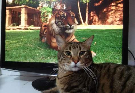 Tiger and cat