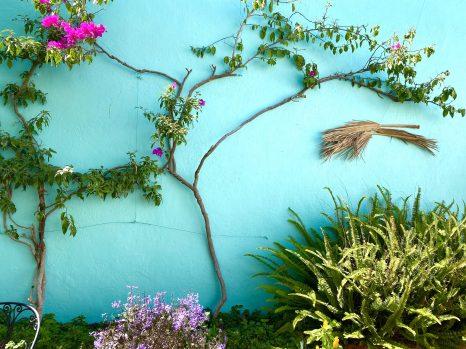 A just right bougainvillea