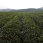 Tea Field Guizhou Tongren China