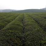 Tea Field Guizhou Tongren China