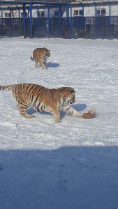 Harbin China Siberian Tiger Park