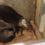 Tokyo Animal Cafe Otters