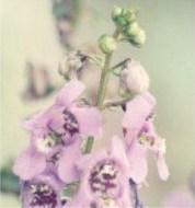 Clary-sage-flower