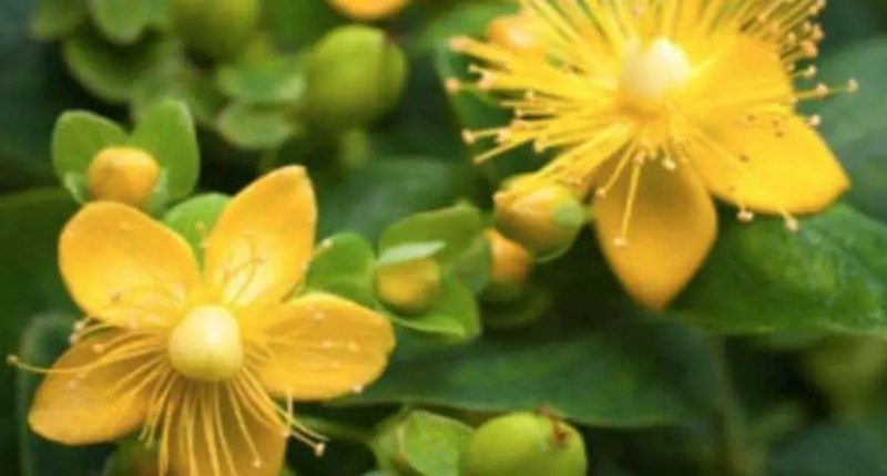 natural alternative to anxiety meds - st jons wort