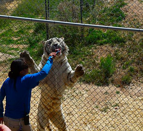 Erin Feeding Tiger
