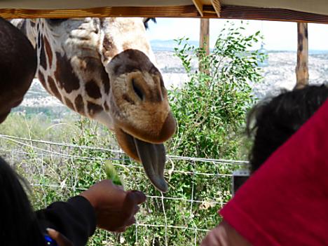 OOA Giraffe 2