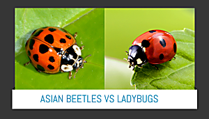 LadyBugs and Beetles