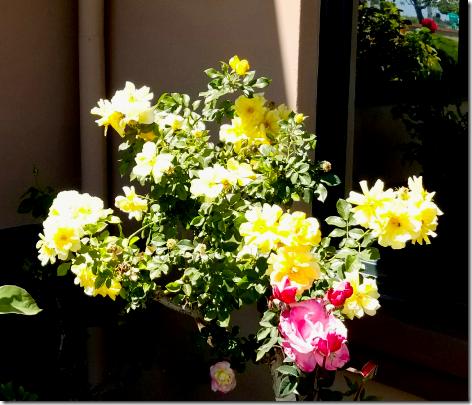 Callender's Roses 3