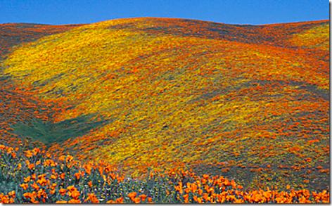 Lancaster Peak Poppy 4