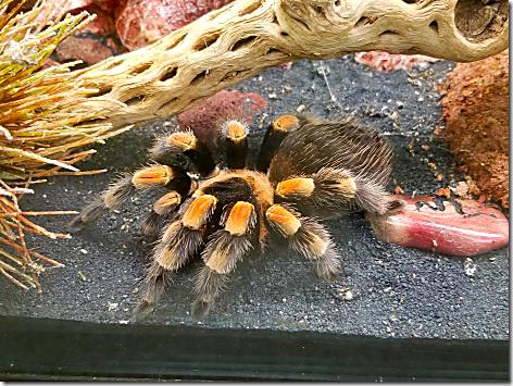 Reptile Gardens Tarantula 2