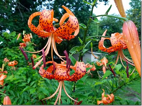 Anna Jean's Tiger Lilies