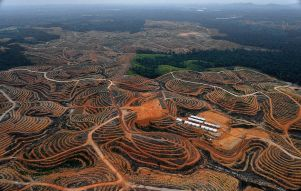 Palm-oil plantations span for miles
