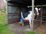 Milking the pretend cow