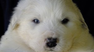The Shock's Great Pyrenees Puppies are Here!