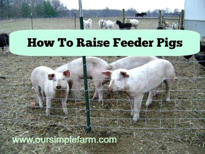 How to Raise Feeder Pigs