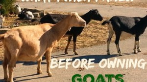 What I Wish I Knew Before Owning Goats