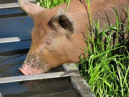 What to feed pigs