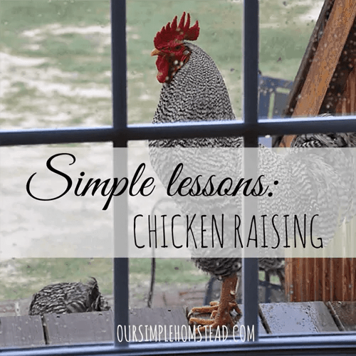 Simple Lessons: Chicken Raising