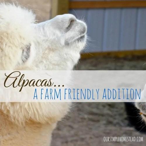 Alpacas - A farm Friendly Animal