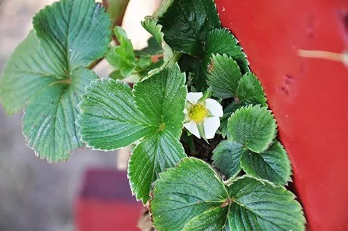 The strawberry pot is full of blossoms
