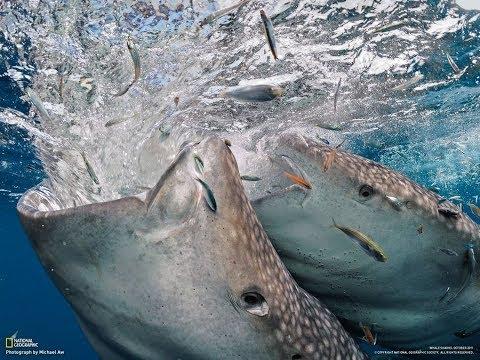 Ikan Terbesar Di Dunia Hiu Paus Saat Memakan Makanannya.
