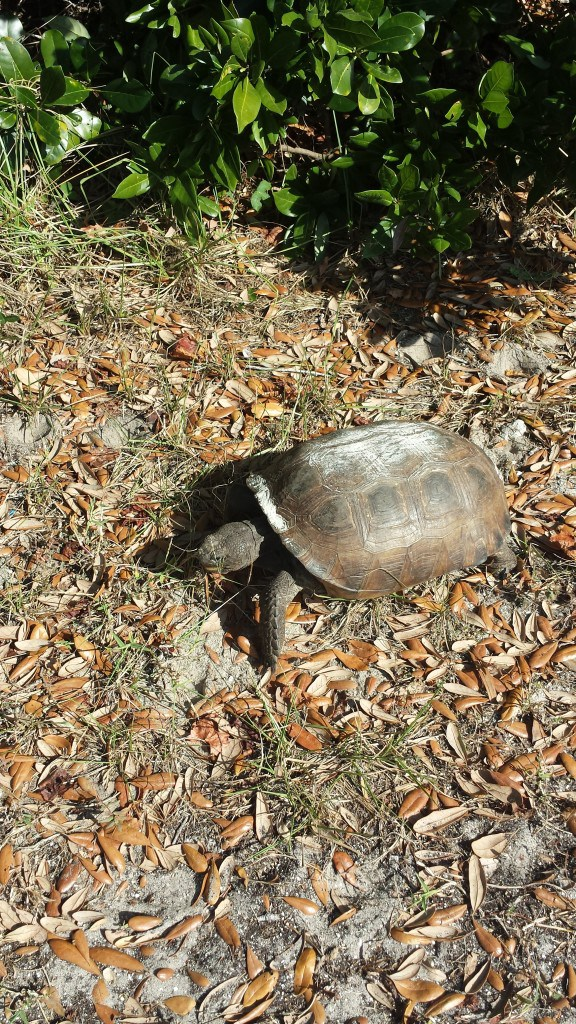 St. Augustine snapping turtle - Our Streamlined LIfe
