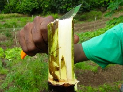 fresh sugar cane!