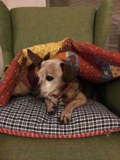 Old dog under mom's quilt