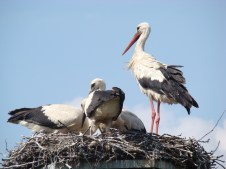 If needed, storks shade their chicks from the sun or a rain with the wide of wings.