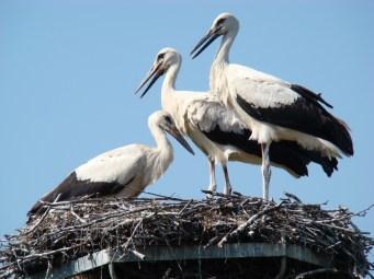 White Stork's main sound is bill-clattering, which is simmilar to machine gun fire.