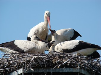 After the nest is prepared, the female typically lays four white eggs.