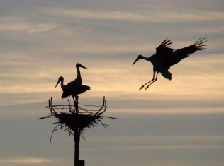 White storks build a large stick nest in trees, on buildings, or on purpose-built man-made platforms.